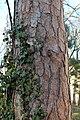 Wien-Penzing - Naturdenkmal 61 - Stamm Rotföhre bzw Weißkiefer (Pinus sylvestris).jpg