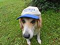 Wikipedia editor hat w dog.JPG