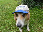 Wikipedia editor hat w dog.JPG