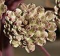 Wild angelica seeds - Flickr - S. Rae.jpg