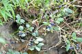 Wild blueberries at Douthat State Park Virginia (27960490200).jpg