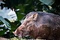 Wild boar - Kaeng Krachan National Park (12834873265).jpg