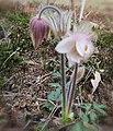 Wilde weißblühende Küchenschelle (Pulsatilla), Naturschutzgebiet 92224 Amberg, Gailoh.jpg