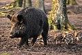 Wildschwein + Frischlinge.jpg