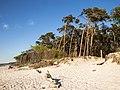 Windswept trees near Born auf dem Darss 02.jpg