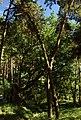 Woliński Park Narodowy dąb Woliniarz 2016-08-25 p.jpg