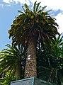Wood`s Cycad (Encephalartos woodii) (32140178064).jpg