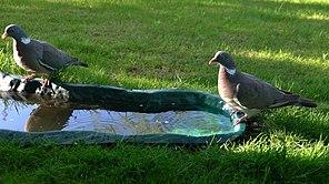 Wood Pigeon Lodz(Poland)(js)07.jpg