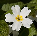 Woodland Primrose (5559223438).jpg