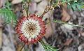 Woondowing flower 2781.JPG