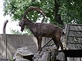 Wroclaw zoo 07 koziorozec syberyjski.jpg