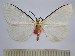 <i>Xenosoma</i> Genus of moths