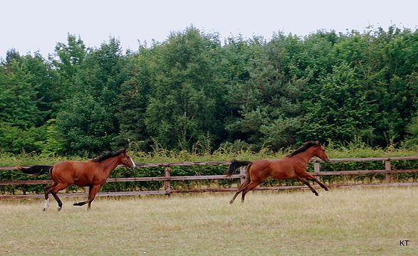 Yearling colts (9473569097).jpg