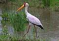 Yellow-billed Stork, Mycteria ibis at Kruger Park (13956961955).jpg