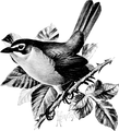 Yellow - Breasted Chat-Birdcraft-0173-19.png