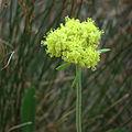 Yellow Buckwheat (15034618408).jpg
