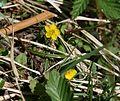 Yellow pimpernel - Flickr - S. Rae.jpg