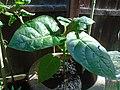 Young Tamarillo Plant.jpg