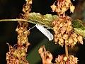 Yponomeuta evonymella (35881831522).jpg
