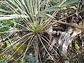 Yucca glauca subsp. albertana fh 1179.72 Canada in cultur in der Sammlung F. Hochstatter B.jpg