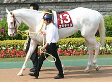 A pure white Thoroughbred racehorse mare during the post parade.