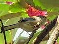 Yummy - Minla cyanouroptera.jpg