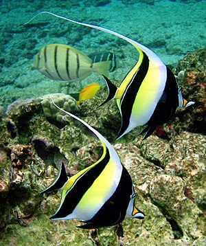 A Moorish Idol