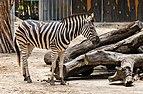 Zebra (Equus quagga burchellii), Zoo de Ciudad Ho Chi Minh, Vietnam, 2013-08-14, DD 02.JPG
