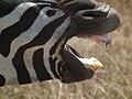 Zebras in Tanzania 4312 Nevit.jpg