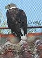 Zeearend avifauna alphen aan den rijn.jpg