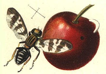 drawing of a fly living on cherry plants