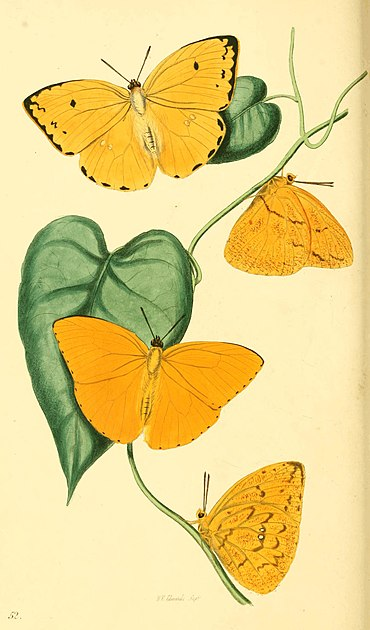 Zoological Illustrations Volume I Plate 52.jpg