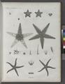 Zoologie. Echinodermes. Astéries (NYPL b14212718-1268607).tiff