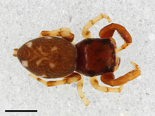 <i>Zygoballus maculatus</i> species of arachnid