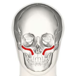 Zygomaticus minor muscle frontal.png