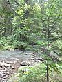 """"""" Води ріки Прут у дикому лісі."""".jpg"""