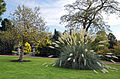 'Cortaderia selloana' pampas grass - Beale Arboretum - West Lodge Park - Hadley Wood - Enfield London 1.jpg