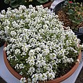 'Giga White' alyssum IMG 5054.jpg