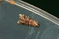 (1474) Ephestia parasitella (3609893967).jpg