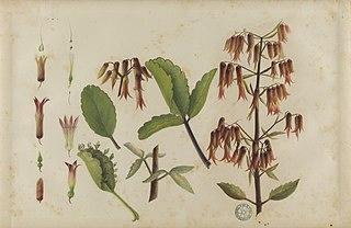 (Bryophyllum pinnatum)