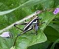 (Eupholidoptera schmidti) Schmidt's Marbled Bush-Cricket (44667398315).jpg