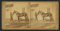(Horse named) Woodford Mambrino, by James Mullen.png