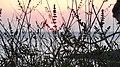 Ηλιοβασίλεμα μέσα από την άγρια φύση της παραλίας του Αγίου Δημητρίου.jpg