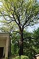 Багатовікове дерево дуба звичайного у Києві. Фото 2.jpg