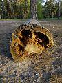 Будова стовбура дерева.jpg