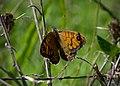 Буроглазка Мегера (Краеглазка мегера) - Wall Brown - Lasiommata megera - Mauerfuchs (15360816695).jpg