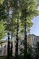 Група вікових дерев тополі білої 17.jpg