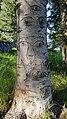 Дерево около Дачи Винтера.jpg