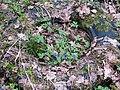 Медуница неясная, проросшая в выброшенной покрышке в заповеднике 2021.jpg