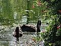 Новый Афон. Лебеди в Приморском парке - panoramio (2).jpg